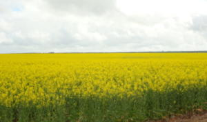 Local Canola Crop in Spring